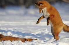 Foxes begin to play and dance in an elaborate mating ritual that begins in March.