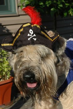 Arr! Toby the pirate! - Dog Halloween Costume