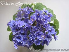 A Frosted Denim Beauty!  Please visit her blog to learn more about African Violets.
