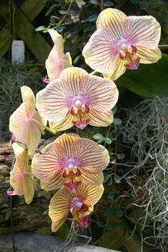 Orchids This is a great gift orchid because the blooms last longer than any orchid I have...gave one to my mother that had blooms for 6 months in a nursing home. Called kaleidescope phaelenopsis