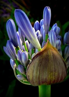 ~~Lily of The Nile ~ Agapanthus by paintingsheep~~