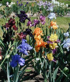bearded iris - Beautiful!