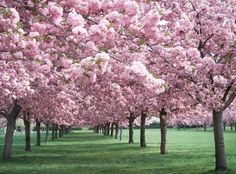 . cherri, beaches, blossom trees, apples, pink, road, garden, flower, cherry blossoms