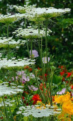 Queen Ann Lace lace flowers, white flower, flower garden, queen, cottage gardens, coastal gardening, cut flowers, flowers garden, moon garden