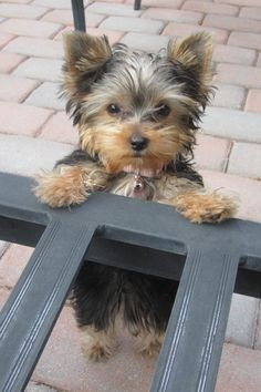 Bailey the Yorkie