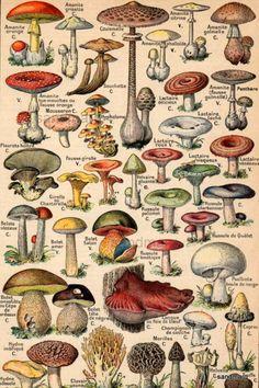 French Color Chart 1930 Edible and Poisonous Mushrooms Nouveau Petit Larousse