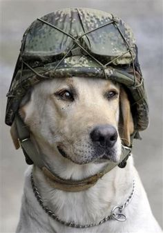 Timothy, a service K9, wearing a soldiers helmet.