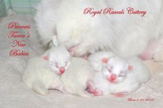 More kittens in the nursery at Royal Rascals Cattery  http://www.royalrascalscattery.com/id2.html