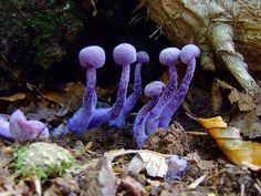 purpl mushroom, fungi, flora, amethyst deceiv, natur, magic mushroom, fungus, lichen, purple mushrooms