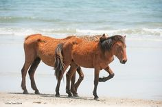 "The legendary Corolla wild horses saunter down the beach in the Outer Banks of North Carolina. Photo by Eve Turek - ""Two If By Sea"""
