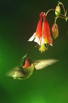 Hummingbird butterfli, colibri, anim, birdi, creatur, natur, beauti, hummingbirds, flower