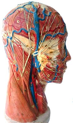 An antique anatomical model of a bisected human head by Louis Thomas Jerôme Auzoux (1797-1880).