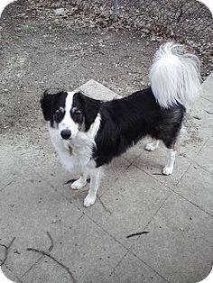 Marlton, NJ - Border Collie. Meet Banshee a Dog for Adoption.