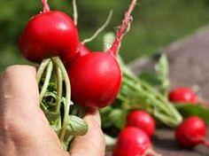 radish leaf, grow radish, salad radish