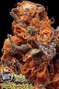 purple kryptonite kush marijuana strain