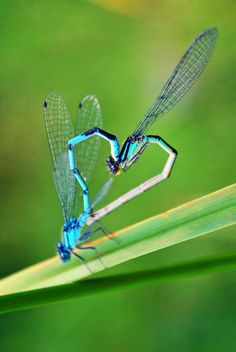 dragon fly love
