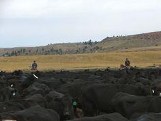 Black Angus Herd