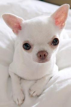 White Chihuahua Puppy #Chihuahua