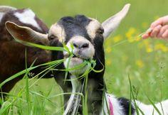 Alpine goat enjoying eating grass - the perfect lawn mower!