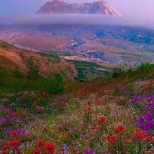 Mount St Helens Wildflowers