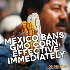 Mexico Bans GMO Corn, Effect Immediately! More Here: http://www.care2.com/causes/mexico-bans-gmo-corn-effective-immediately.html#ixzz2iQTU71vs