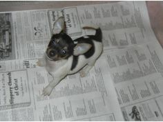Emily's sweet toy rat terrier puppy, Kylie Katherine.
