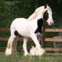 Drum Horse Stallion Chalk Talk owned by Mariah Farms, by Cosmopolitan Horse Farm