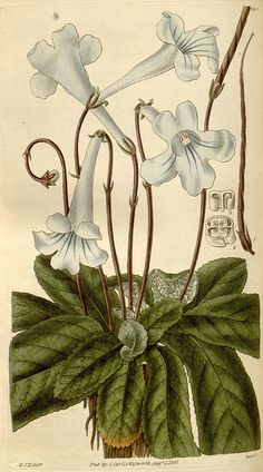 Vintage botanical illustration by BioDivLibrary, via Flickr.