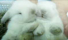 Bunny smoches snuggles, rabbit, funny animals, kiss, animation, boyfriend, baby bunnies, hair problem, animal memes