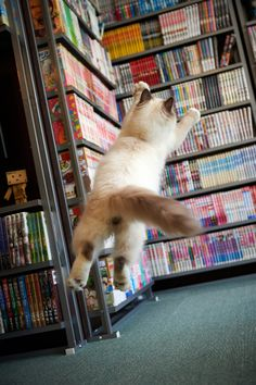 cat photography, book lovers, library cat, funny cats, pretti thing, librari, jumping cat, grumpy cats, cat photos