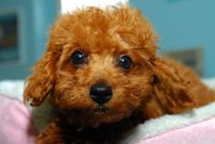 Poodle puppy, Brooklyn, at the Humane Society of New York.