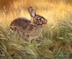 """Cautious"", Cottontail Rabbit"