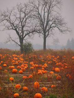 pumpkin field, pumpkin patch, season, autumn, pumpkins, fall, beauti, pumpkinpatch, halloween