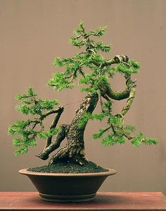 Nature Art Bonsai Tree Walter Pall - Germany European Spruce (Picea abies) 60 cm Chinese Pot Collected in Austria