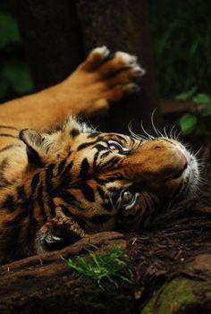 *tiger