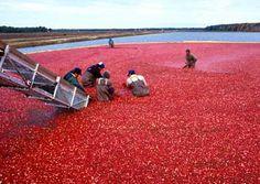 Harvesting cranberries - Massachusetts