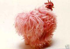 Pink Frizzle Chicken