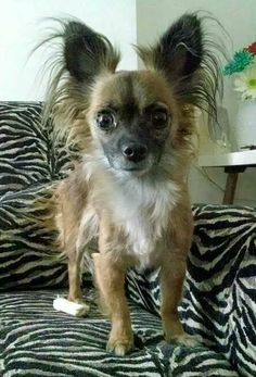 MYA....PITTSBURGH, PA...Mya is about as petite as her name. She is a 4 year old, 4 pound mix between a long haired and a short haired Chihuahua.  She is very gentle and friendly and enjoys the company of people and other dogs. Unfortunately her favorite person in the world...