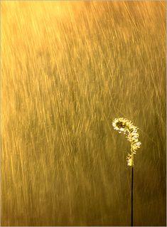 Golden by Bahman Farzad