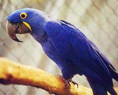 Arara Azul da Amazônia.