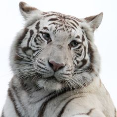 White Tiger 1 by SnowPoring