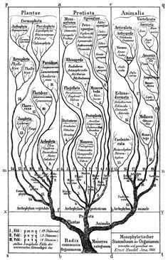 Arbre du vivant,  classification par Haeckel, 1866.