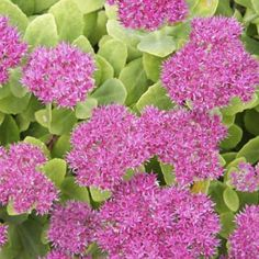 """Sedum Spectabile """"Autumn Joy"""".  This flowering succulent features pink to rust-colored blooms against green, glossy, thick foliage in the summer. Its bright summer blossoms are attractive to bees and butterflies. 'Autumn Joy' can grow to 2 feet. USDA Hardiness Zones 3-9"""