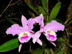 Las plantas nacionales de Latinoamérica | Flor de Mayo: flor nacional de Venezuela