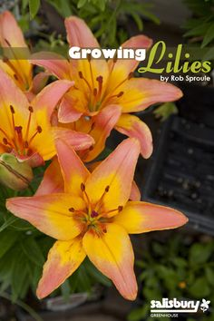 Few flowers are as universally adored as the #lily. Growing Basics - Asiatic Lilies - Oriental #Lilies