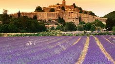 lavender in provence...
