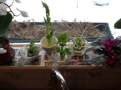 Growing Organic Celery On My Kitchen Windowsill.