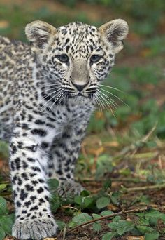 Baby Snow Leopard ❤❤❤