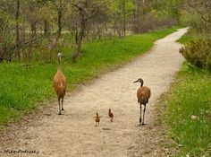 """Resident Mike Podrasky captured this photograph of sand hill cranes nicknamed """"Bob, Mary and the kids"""" at Kensington Metro Park on May 6, 2009. Podrasky writes: """"I think it represents Oakland County well because it is a nature shot and there is a lot of greenspace and recreational areas in the county. To me, Oakland County is about its parks and wetlands."""""""