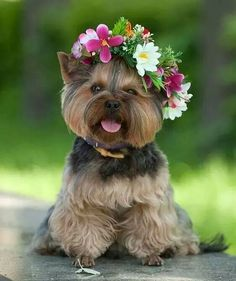 Beautiful Yorkie